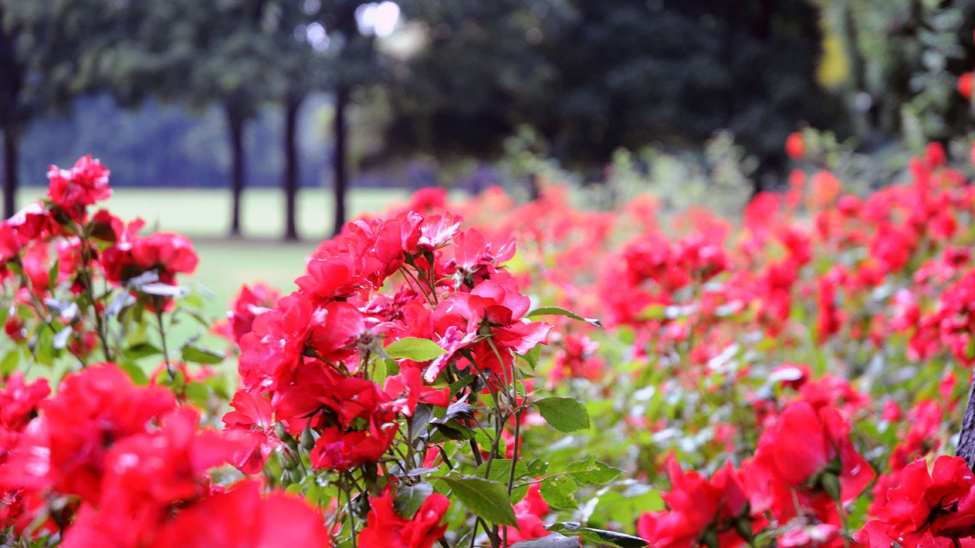 Rosen auf dem Alaunplatz