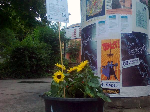 Sonnenblume vor der Scheune