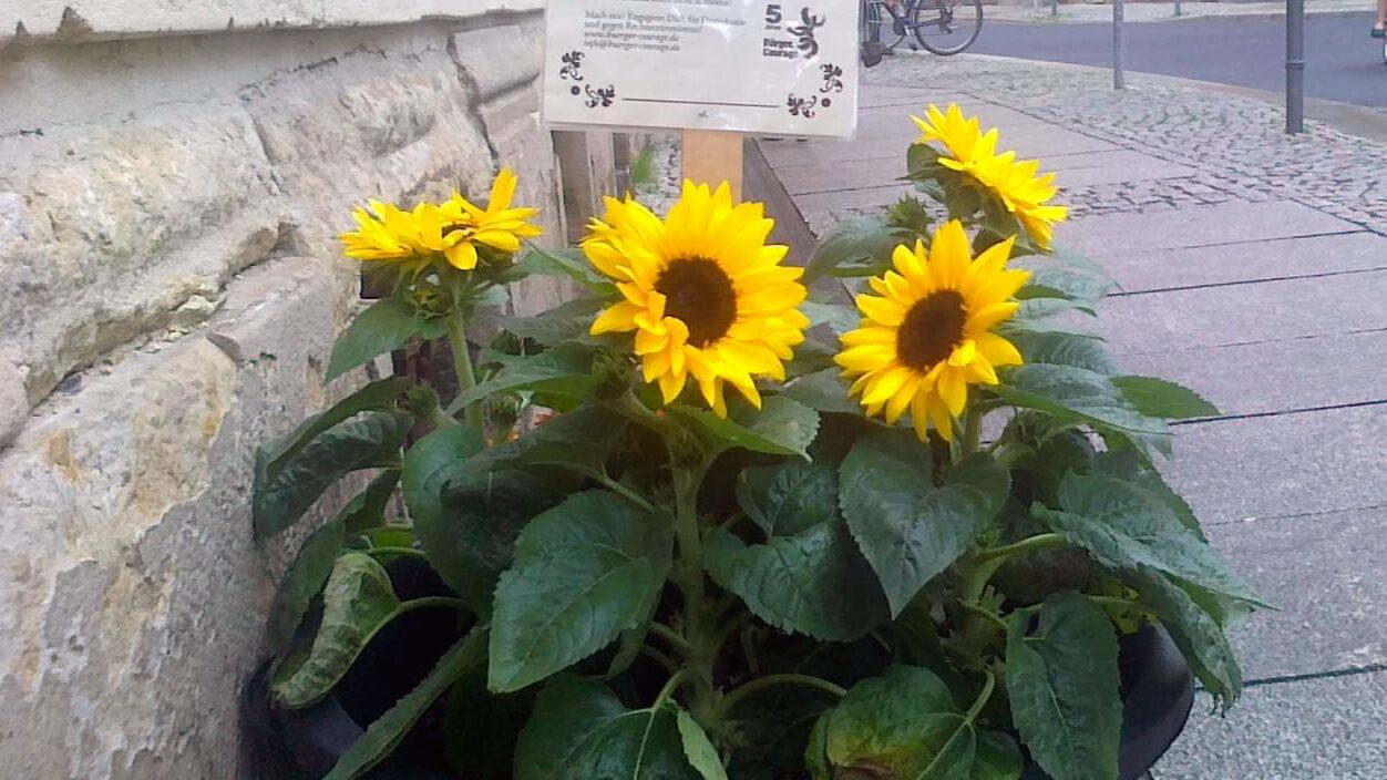 Sonnenblume vorm Stadtteilhaus