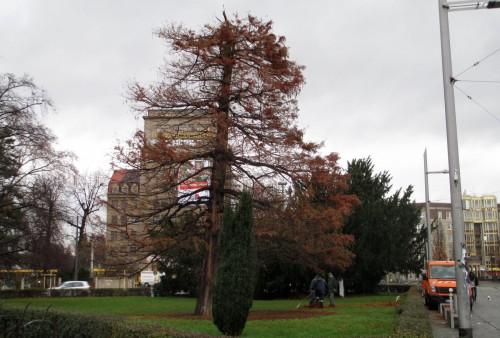 Der Mammutbaum am Albertplatz hat seine Spitze eingebüßt