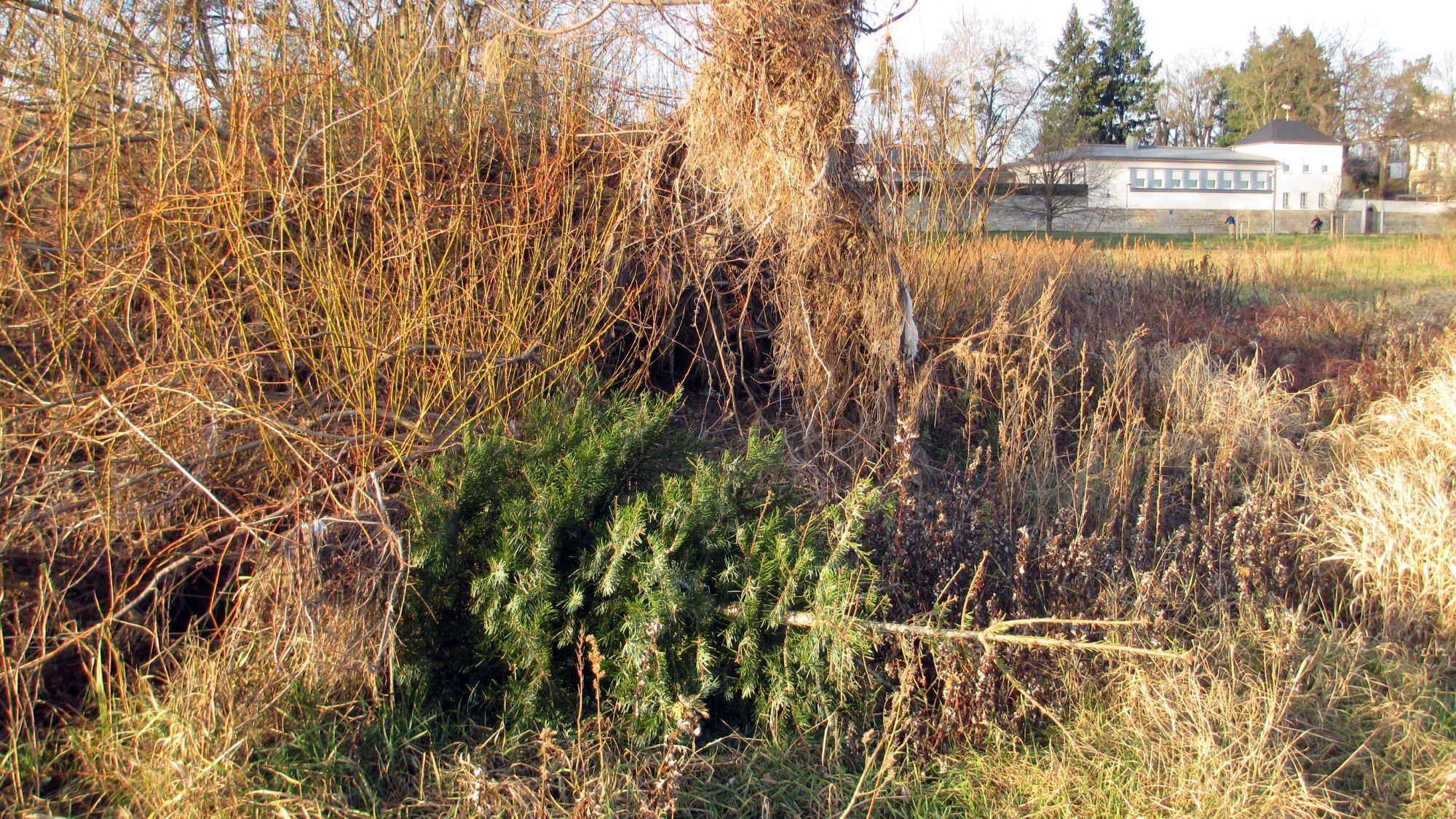 So besser nicht. Abgelegter Weihnachtsbaum an der Elbe. Foto: Archiv