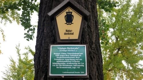 Die Gingko-Bäume auf der Bachstraße stehen unter Naturschutz.