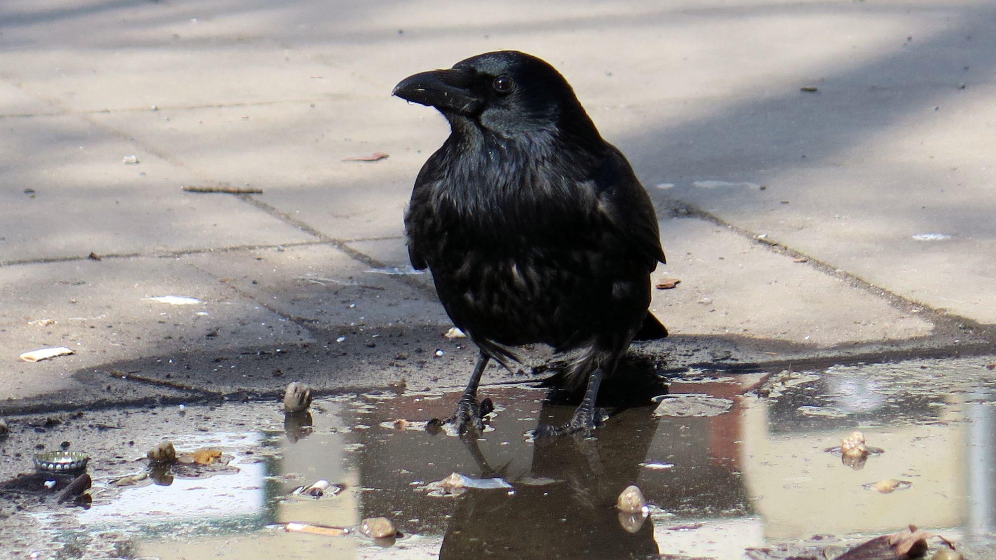 Ihr wäre der Umbau vermutlich egal. Eine Krähe erfrischt sich in der Pfütze vor der Scheune.