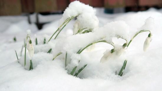 Frühlingsanfang: Schneeglöckchen im Winterkleid