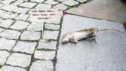 Tote Ratte auf der Louisenstraße