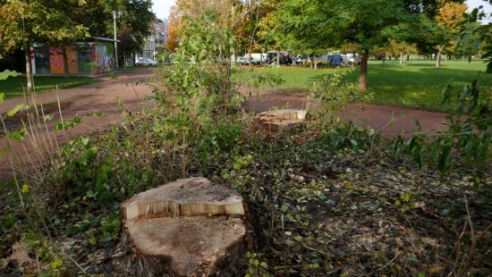 Baumfällung Alaunplatz: Am Toilettenhäuschen sind zwei Bäume gefallen.