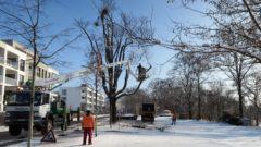Baumfällarbeiten an der Tannenstraße