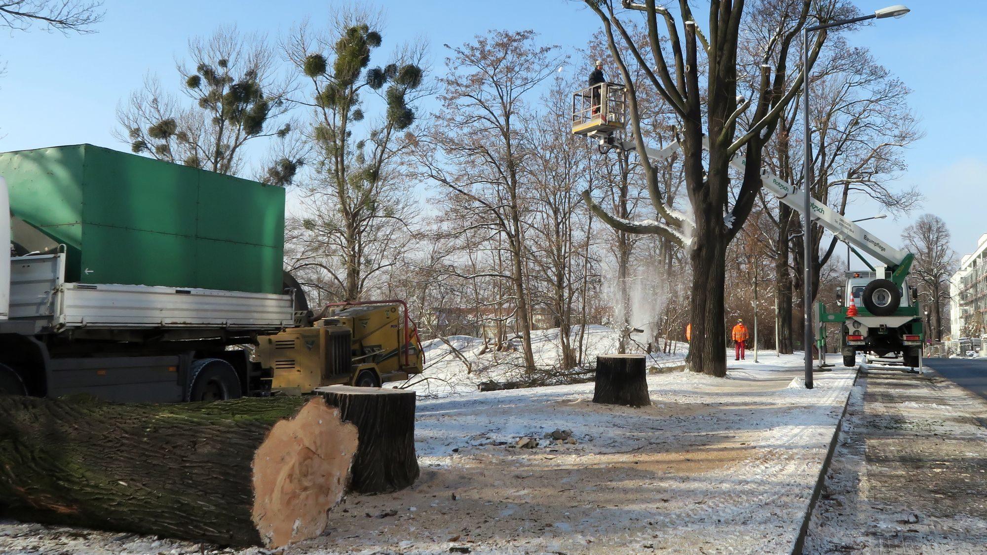 Um die Mittagszeit waren die ersten beiden Ahorn-Bäume gefällt.