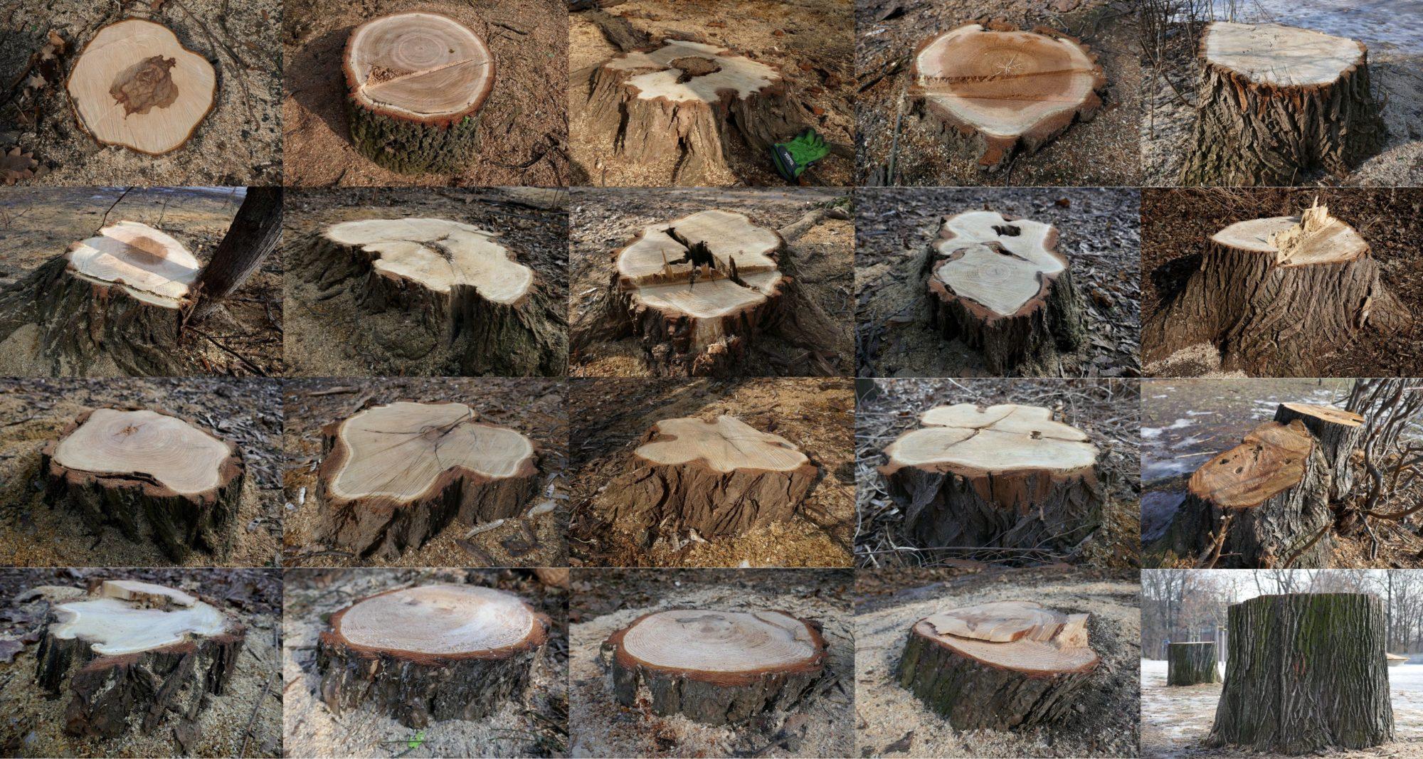 Alle Baumstümpfe befinden sich im Alaun-Wäldchen
