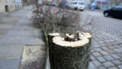 Pilzbefall oder morsch, drei Bäume mussten an der Sebnitzer Straße gefällt werden.