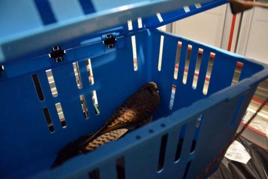 Der gerettete Falke wird nun nach Kaditz gebracht.