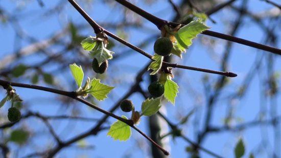 Wenn sie groß sind, sehen sie aus wie Ahornblätter, aber die Frucht ist anders.