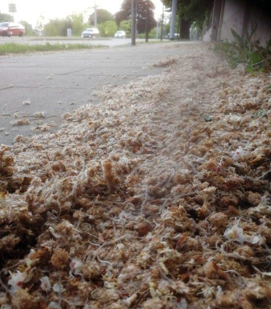 Blütenanschwemmung entlang der Bautzner Straße. Foto: Umweltamt