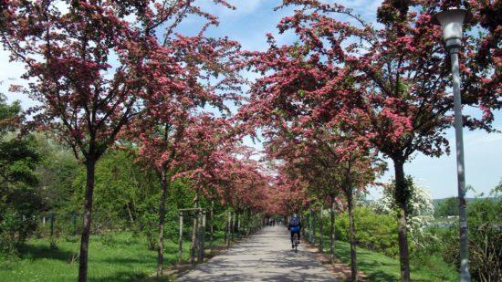 Blütenpracht am Rosengarten - Foto: Umweltamt