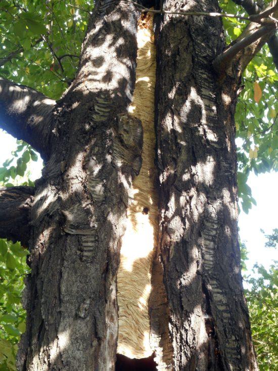 Hornissennest in einem hohlen Baumstamm - Foto: Umweltamt