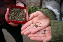 Die Welt der Samen ist vielfältig. Hier sind Ringelblumensamen zu sehen. Foto: Luisa Zenker