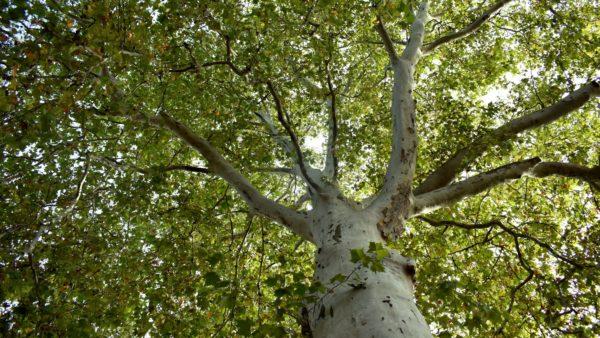 Der warscheinlich größte Baum der Zittauer