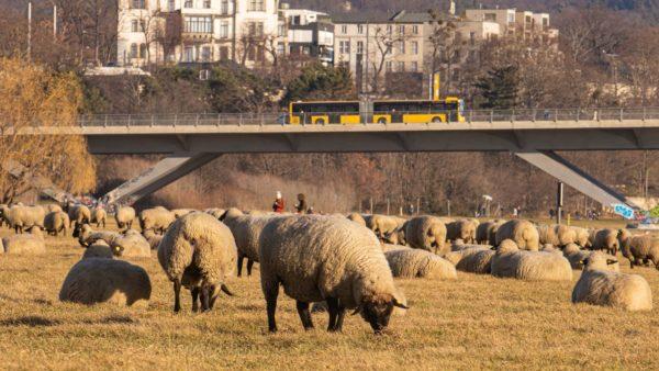 Schafe an der Waldschlösschenbrücke - Foto: Ronny Rozum