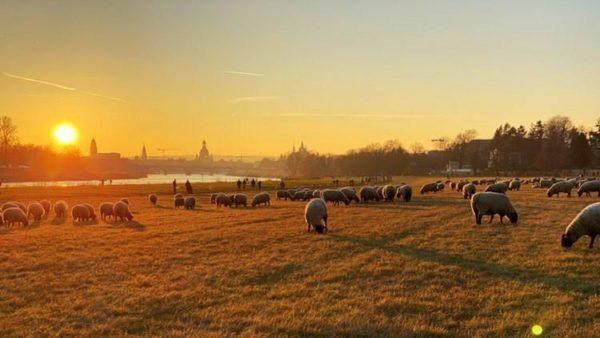 Schafe im Abendrot - Foto: Pia