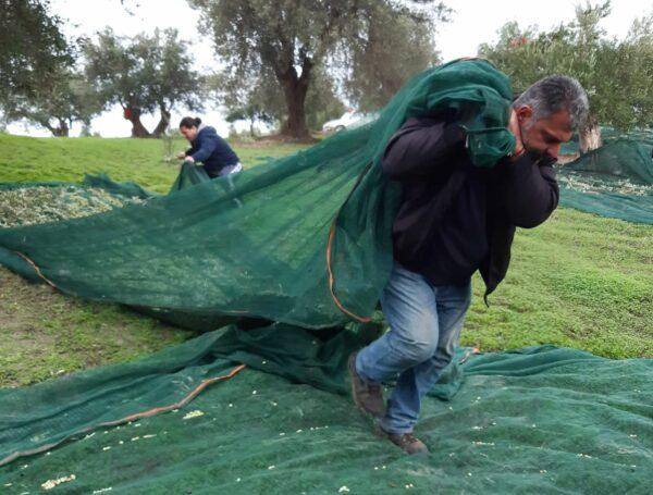 Olivenernte 2020 in Vorizia. Foto: privat