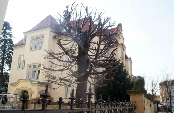 Baum kurz vor dem Frühlingserwachen an der Arndtstraße. Foto: Philine