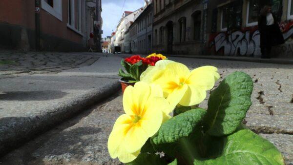 Mit Primeln in den Frühling