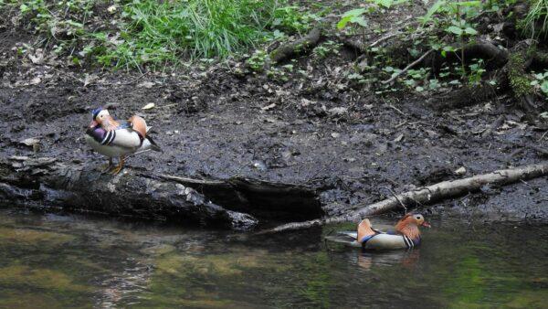 Mandarinenten in der Prießnitz - Foto: Christina Loose