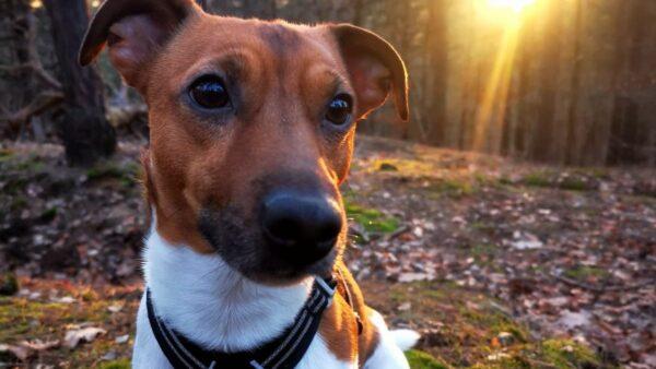 Jack Russell Terrier Fritz